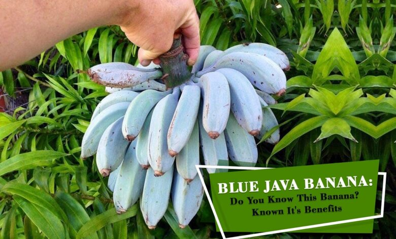 Blue Java Banana, Himsedpills